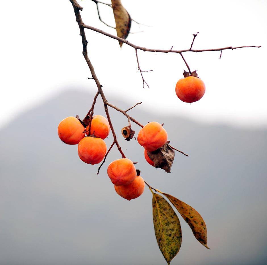 감나무.jpg